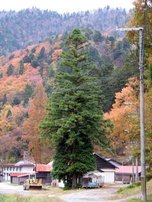 京都府南丹市芦生にある京大演習林入口付近の紅葉