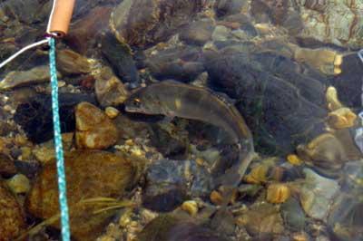 滋賀県湖東の川で行われた網会で、刺網にかかり水底でもがく鮎