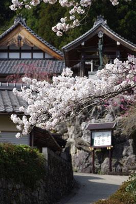 峠会「静原阿弥陀寺の桜」