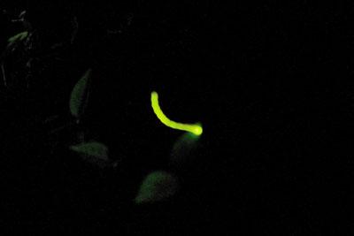 塗会・蕎麦会終了後に行った蛍会で見た下鴨神社「糺の森」の蛍の光跡