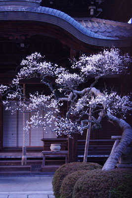 上村君への弔意を表する「御弔いの梅」とする、京都市左京区内の僧院の梅花。2015年2月撮影