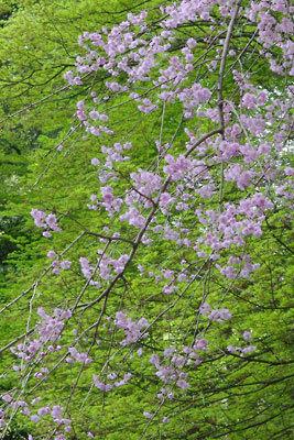 山会告知「山の楓新緑と枝垂桜,春のキャンプ,野営」