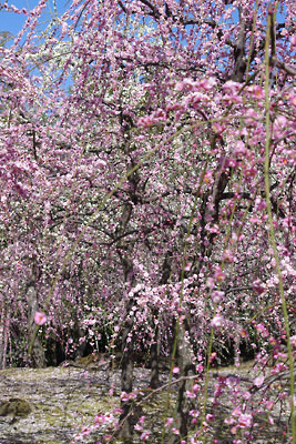 京都市街南部にある城南宮の有料梅園内の満開の梅