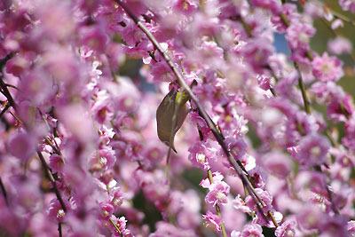 京都市街南部にある城南宮の満開の梅に集うメジロ