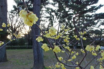 京都御苑(御所)梅園の遅咲きの蝋梅