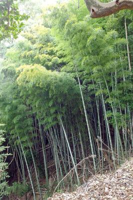 頂部に京都・石清水八幡宮がある男山の、山上近くに現れた竹藪