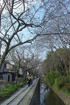 3月末ながら未だ蕾のままの、京都市街東縁「哲学の道」「琵琶湖疏水分線」沿いの桜