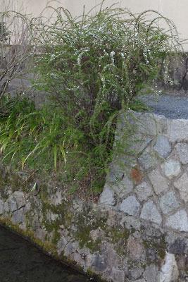 2017年3月末に漸く開花した「哲学の道」琵琶湖疏水分線岸の雪柳