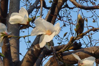 夕方、京都市街中心・二条木屋町で見た、ハクモクレン(白木蓮)の花