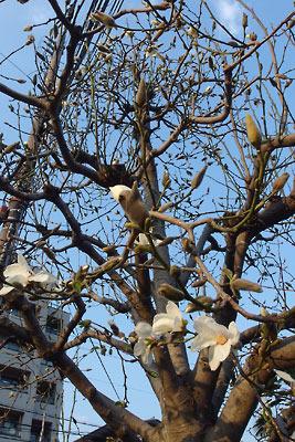 夕方、京都市街中心・二条木屋町で見上げて見た、3月末ながら未だ花の少ないハクモクレン(白木蓮)の樹