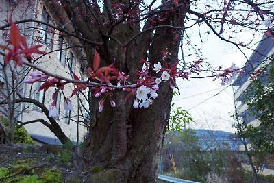 3月末に漸く開花を始めた、京都市街東部にある早咲の山桜の枝先