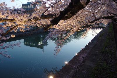 逍遥雑記「琵琶湖疎水の桜,ライトアップ,夜桜,左京区岡崎,京都市美術館の庭」