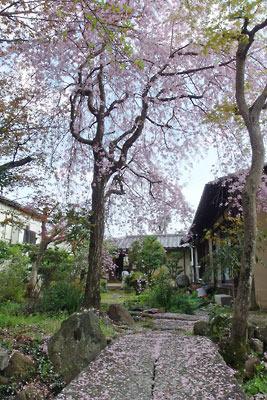 逍遥雑記「上賀茂社家庭の桜,枝垂桜,花見,野点,茶会,和菓子」