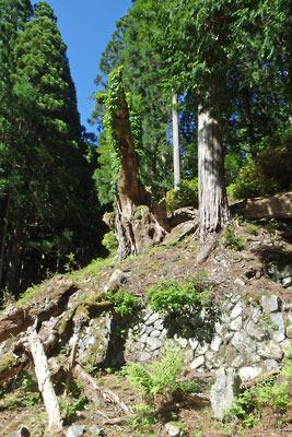 山会「京都北山廃村八丁行,旧八丁集落西方の枯死巨木と祭祀場跡?」
