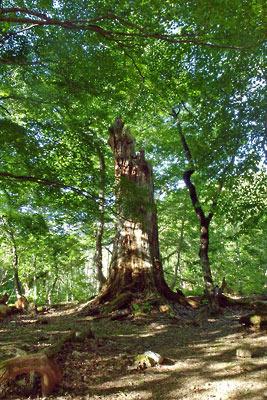 山会「京都北山廃村八丁行,広谷「段」の中央に聳える樅の枯死巨木」
