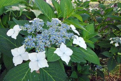 逍遥雑記「青い山紫陽花,ヤマアジサイ」
