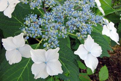 逍遥雑記「青いヤマアジサイの花のアップ」
