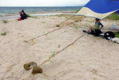 滋賀県琵琶湖西岸の砂浜湖岸で、持主が忘れた日除けタープの張綱を、現地に生えるツルヨシで代用した様子