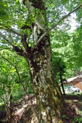 京都市街北部の高所集落「芹生」にある、旧芹生小中学校前のブナの大木