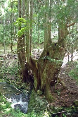 京都市街北部の高所集落「芹生」奥地にある灰屋川源流際の台杉の巨木