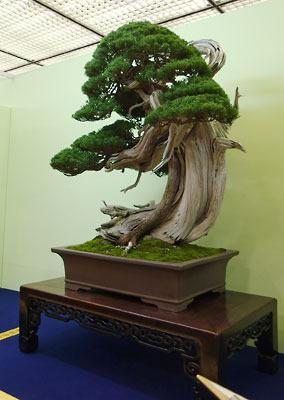 京都市勧業館「みやこめっせ」で行われた、第37回日本盆栽大観展に展示された、劇的な迫力を持つ真柏(しんぱく)の盆栽