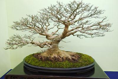 京都市勧業館「みやこめっせ」で行われた、第37回日本盆栽大観展に展示された、「根ばり」の立派な、もみじの盆栽
