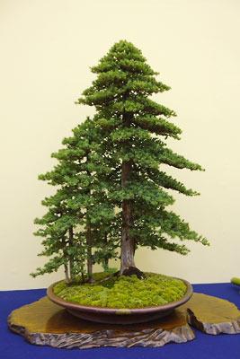 京都市勧業館「みやこめっせ」で行われた「第37回日本盆栽大観展」に展示された、奥山の尾根筋で出会う樅の老樹・若樹の風情をもつ杜松の盆栽