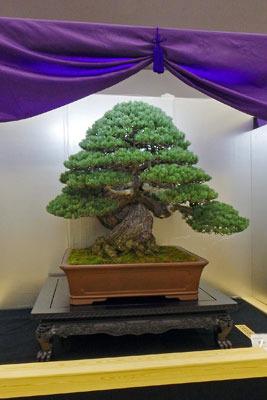 京都市勧業館「みやこめっせ」で行われた、第37回日本盆栽大観展に展示された、樹齢約400年という五葉松の老樹「天帝の松」(内閣総理大臣賞)