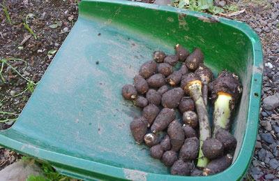 収穫された1ポット分の里芋,町家庭菜園