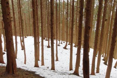 樹皮の茶色を反す樹林下の雪