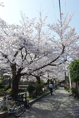 急に桜が満開となった、京都市街東部・琵琶湖疏水分線沿いの「哲学の道」