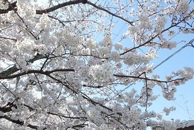 朝からの快晴に満身の花で応える京都市街東部「哲学の道」の桜