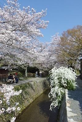 京都市街東部・琵琶湖疏水分線及び「哲学の道」沿いに咲き誇る、桜や雪柳の花