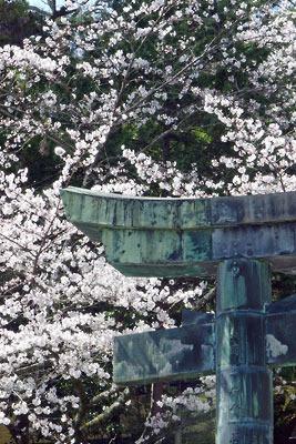 金刀比羅宮の銅鳥居と桜
