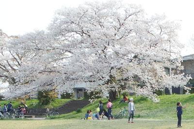 京都・賀茂川(鴨川)河岸の満開の桜