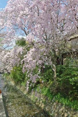 京都市街東部「哲学の道」際の琵琶湖疏水分線沿いにある満開の枝垂桜