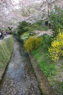 京都市街東部「哲学の道」沿いの琵琶湖疏水分線の水面を流れゆく桜の花びら