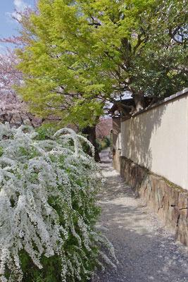 京都市街東部・琵琶湖疏水分線沿いの小道(「哲学の道」対岸)の雪柳の花と新緑(上)