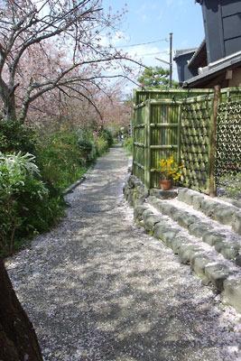 桜の花弁積る、京都市街東部・琵琶湖疏水分線沿いの小道