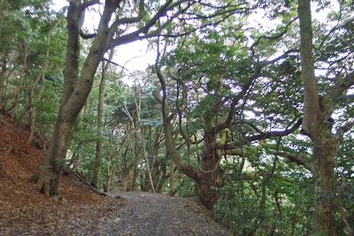 舞鶴要塞の一部「葦谷砲台」へと続く山中の道と、巨木ある原始林