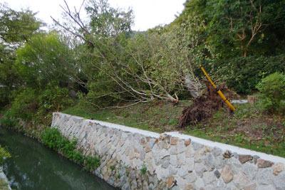 平成30年台風21号の風で根こそぎ倒された京都「哲学の道(琵琶湖疏水分線)」の桜