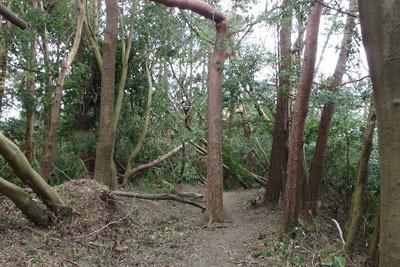 台風21号により、根こそぎ、または幹から折れる大文字山の樹々