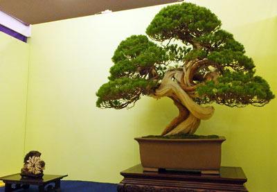 京都市街東部の「みやこめっせ」で開かれた「第38回日本盆栽大観展」に出展されていた、真柏盆栽の名品と菊花石