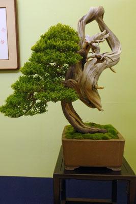 京都市街東部の「みやこめっせ」で開かれた「第38回日本盆栽大観展」に出展されていた、絶妙なバランスの真柏(しんぱく)盆栽の名品