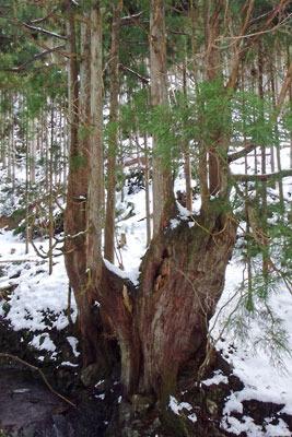 京都市街北部の山上集落「芹生」奥の台杉(櫓杉)の巨木と積雪
