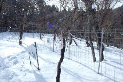 京都市街北部山地の天狗杉山頂近くの「チマキザサ」養生地