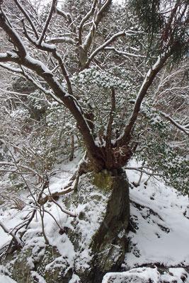 岩を抱え冬を耐える、京都・雲取山三ノ谷の樹木
