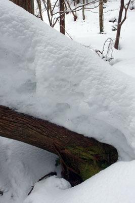 京都・雲取山主峰直下の倒木上の深雪