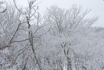 京都・雲取山主峰頂部の霧氷(樹氷)
