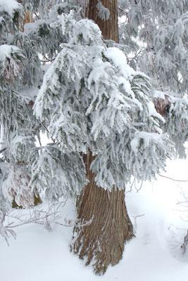 雪に塗れる京都・雲取山山塊の針葉樹。